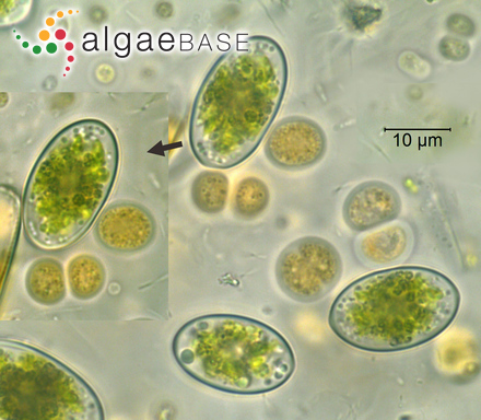 Lithophyllum hyperellum Foslie