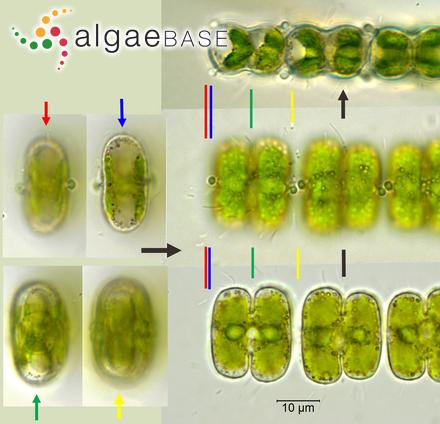 Lyngbya polychroa (Meneghini) Rabenhorst