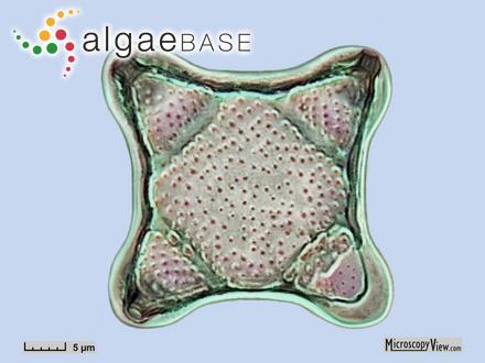 Sargassum megalophyllum Montagne