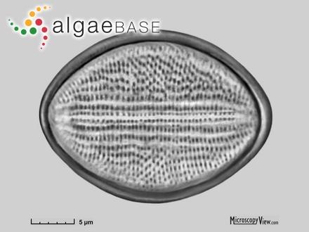 Gelidium corneum var. hystrix J.Agardh