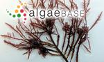Gelidiocolax deformans Seoane-Camba