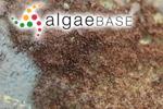 Byssus purpurea Lightfoot