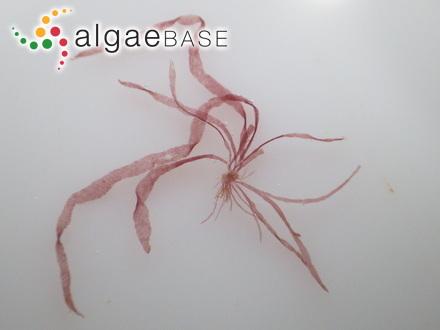 Fragilaria grandis Ehrenberg