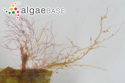 Hyalosynedra laevigata (Grunow) D.M.Williams & Round