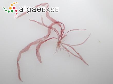 Synedra parvula (Kützing) Kützing
