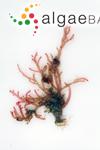 Crouania attenuata (C.Agardh) J.Agardh