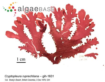 Gomphonema subtile Ehrenberg