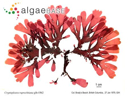 Gomphonema subtile var. malayensis Hustedt