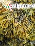 Pelvetiopsis limitata (Setchell) N.L.Gardner