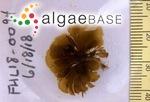 Microzonia abyssicola (Setchell & N.L.Gardner) Camacho & Fredericq