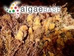 Nullipora lichenoides (J.Ellis) Templeton