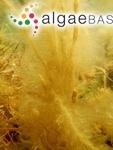 Chordaria filum var. fistulosa (Hudson) C.Agardh