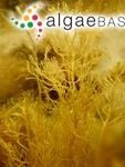 Fucus foeniculaceus Linnaeus