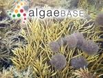Sphacelaria cirrosa (Roth) C.Agardh