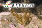 Platysiphon glacialis (Rosenvinge) H.Kawai & T.Hanyuda