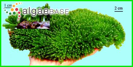 Sebdenia gelatinosa (J.Agardh) De Toni