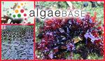 Rhodoglossum japonicum Mikami