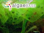 Ulva australis Areschoug