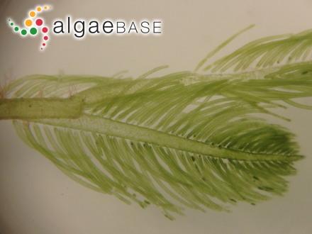 Zygogonium kumaoense Randhawa
