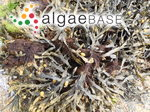 Spirogyra cylindrosperma (West & G.S.West) H.Krieger