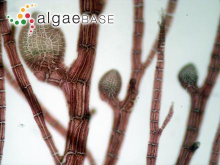Chroococcus dispersus (Keissler) Lemmermann