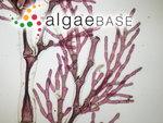 Corynospora flexuosa (C.Agardh) J.Agardh