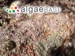 Phymatolithon lenormandii (Areschoug) W.H.Adey