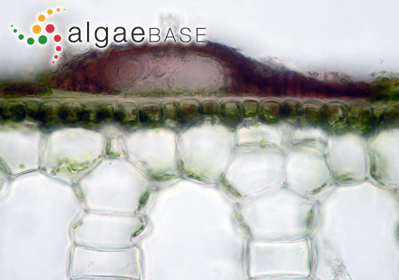 Gloeothece linearis Nägeli