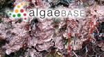 Melobesia lichenoides (J.Ellis) Harvey