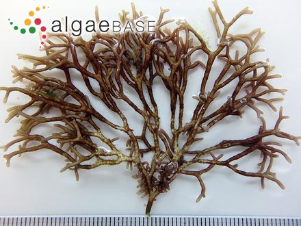 Microcystis viridis (A.Braun) Lemmermann