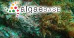 Mesophyllum expansum (Philippi) Cabioch & M.L.Mendoza