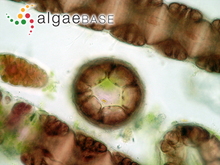 Anabaena lapponica Borge