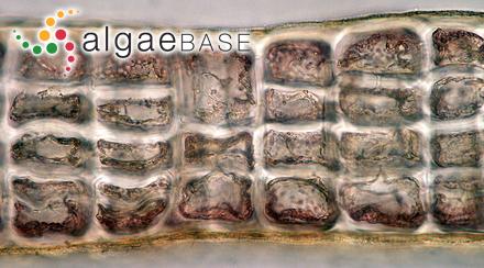 Anabaena macrospora Klebahn