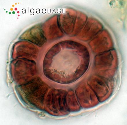 Anabaena oscillarioides var. crassa Playfair