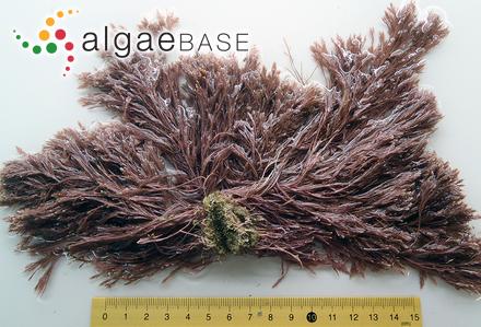 Anabaena variabilis var. cylindracea Playfair