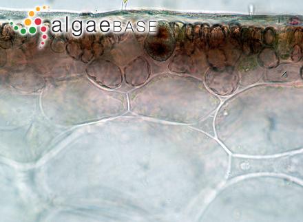 Cylindrospermum goetzei Schmidle