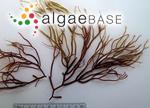 Gigartina dura (C.Agardh) Desmazières