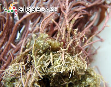 Raphidiopsis curvata F.E.Fritsch & M.F.Rich