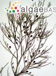 Aglaothamnion cordatum (Børgesen) Feldmann-Mazoyer