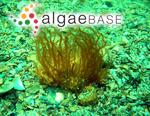 Sauvageaugloia divaricata (Clemente) Cremades