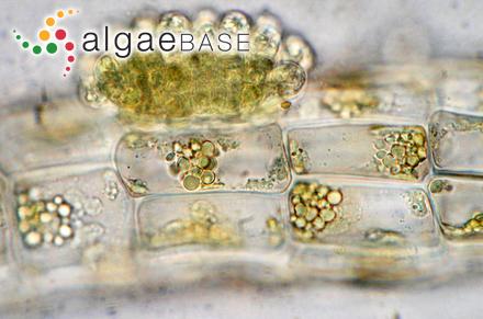 Asperococcus scaber Kuckuck