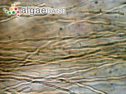 Cystodinium steinii Klebs
