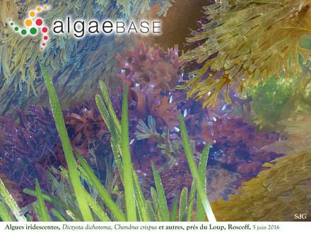 Delesseria minor Baardseth