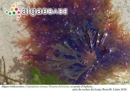 Myriogramme nightingaliensis Baardseth
