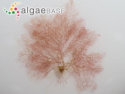 Pterosiphonia concinna Baardseth