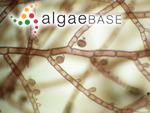 Gaillona hookeri (Dillwyn) Athanasiadis