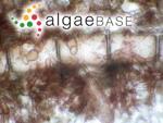 Pterothamnion crispum (Ducluzeau) Nägeli