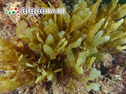 Pleurosigma aestuarii (Brébisson ex Kützing) W.Smith