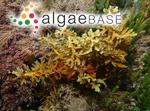 Phyllotricha varians (Sonder) R.R.M.Dixon & Huisman