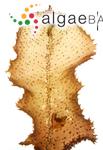 Fucus fraxinifolius Mertens ex Turner